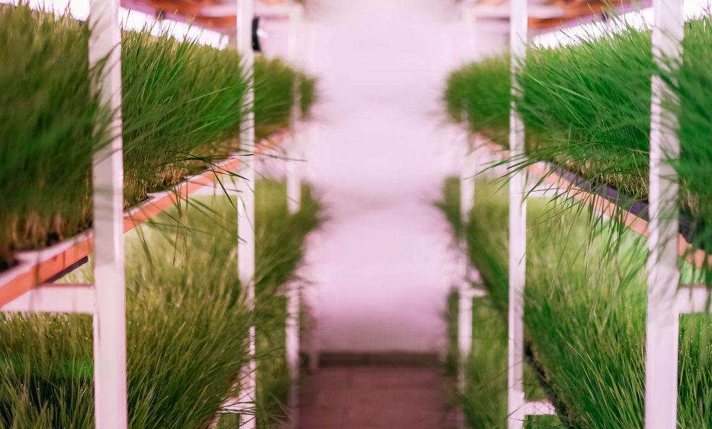 dovolj velika pirina trava za žetev rezanje